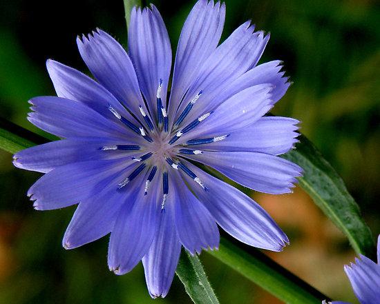 chicory-flower